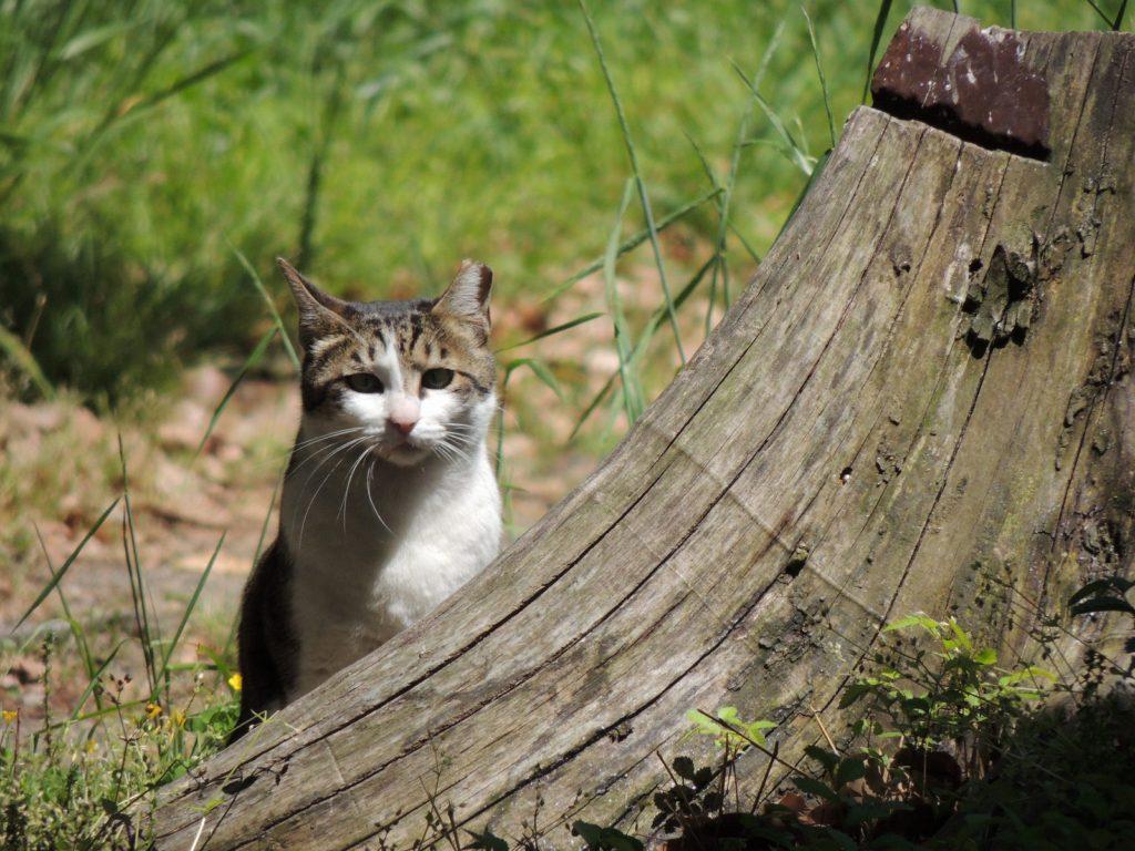 耳がカットされてる野良猫
