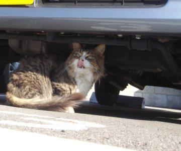 車の下に猫